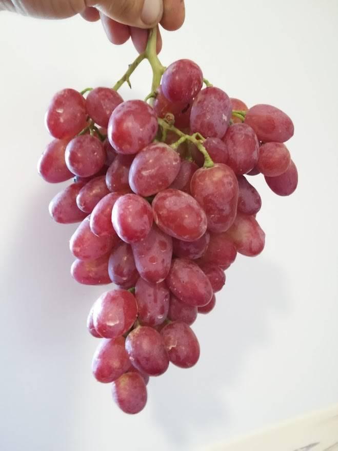 Столовая форма розового винограда любительской селекции — сорт гелиос