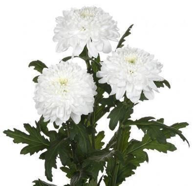 Хризантема зембла: уход в домашних условиях и в саду