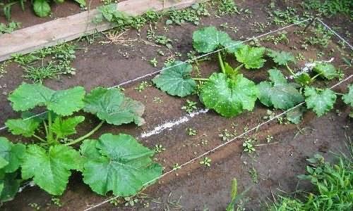 Кабачки: посадка, выращивание и уход в открытом грунте