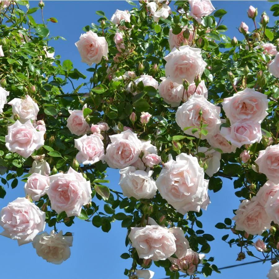 5 лучших сортов плетистых роз для сибири