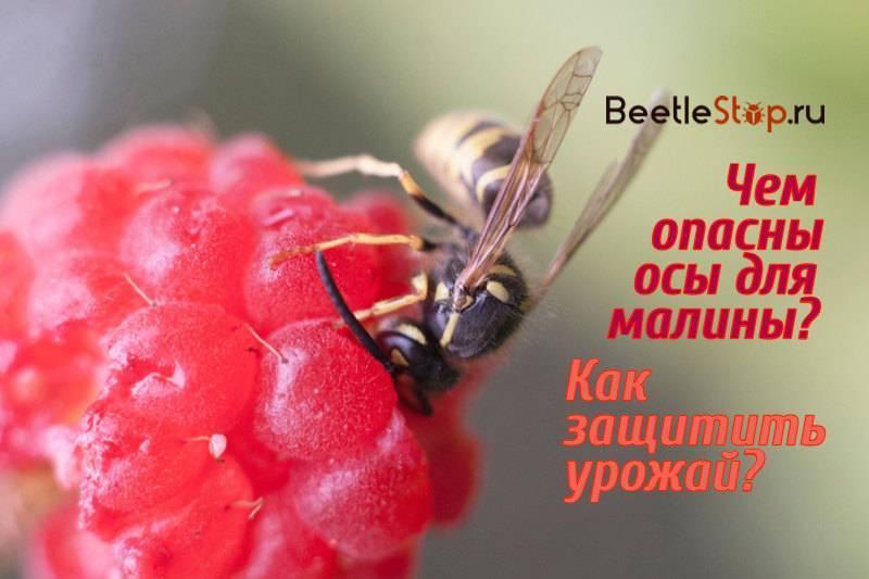 Клубнику едят личинки майского жука, что делать?