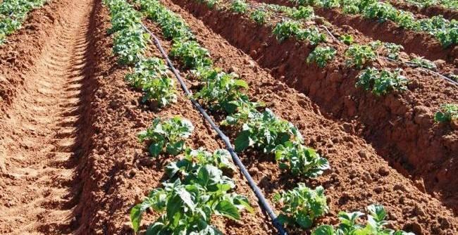 Посадка и уход за картофелем в открытом грунте: методы и способы выращивания картофеля
