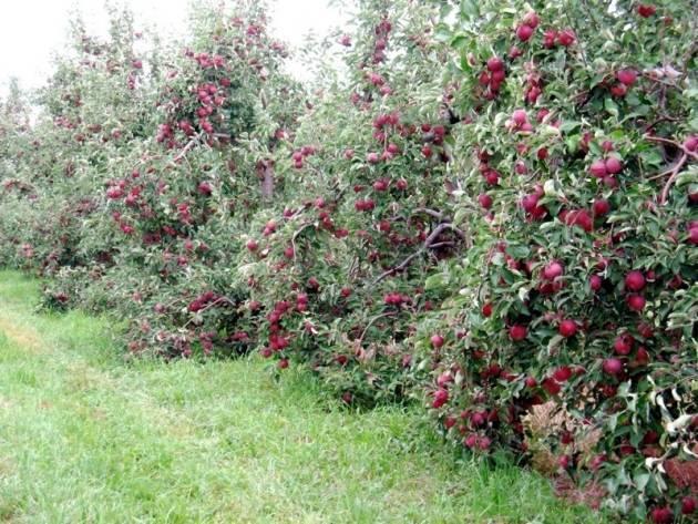 Карликовые яблони для подмосковья — какой сорт выбрать