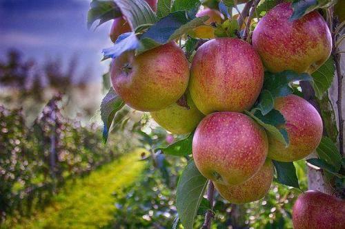 На какой год плодоносит вишня после посадки?