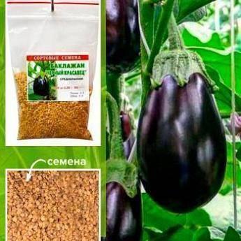 Характеристики и выращивание баклажана «черный красавец»