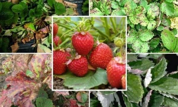 Клубника азия: как правильно ухаживать за сортом, чтобы вырастить хороший урожай