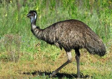 Эму (52 фото): как выглядит австралийский эму? чем он отличается от страусов? чем он питается в австралии и в домашних условиях?