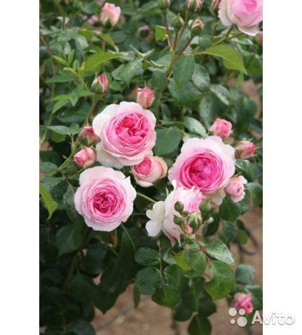 О розе les quatre saisons: описание и характеристики сорта почвопокровной розы