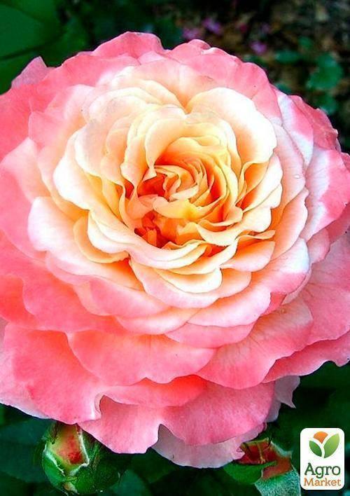 Роза августа луиза — описание и особенности посадки сорта