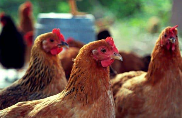 Цыплята клюют друг друга до крови: что делать