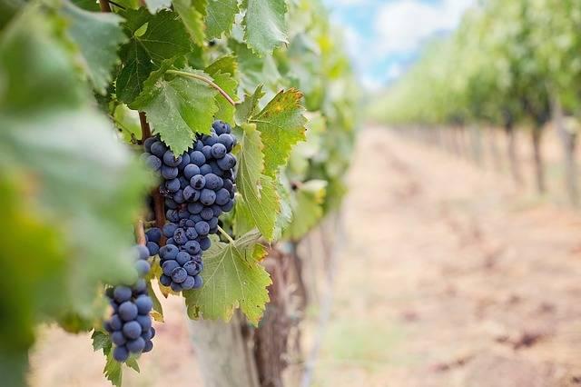 Обработка винограда в июне после цветения: лучшие средства и препараты