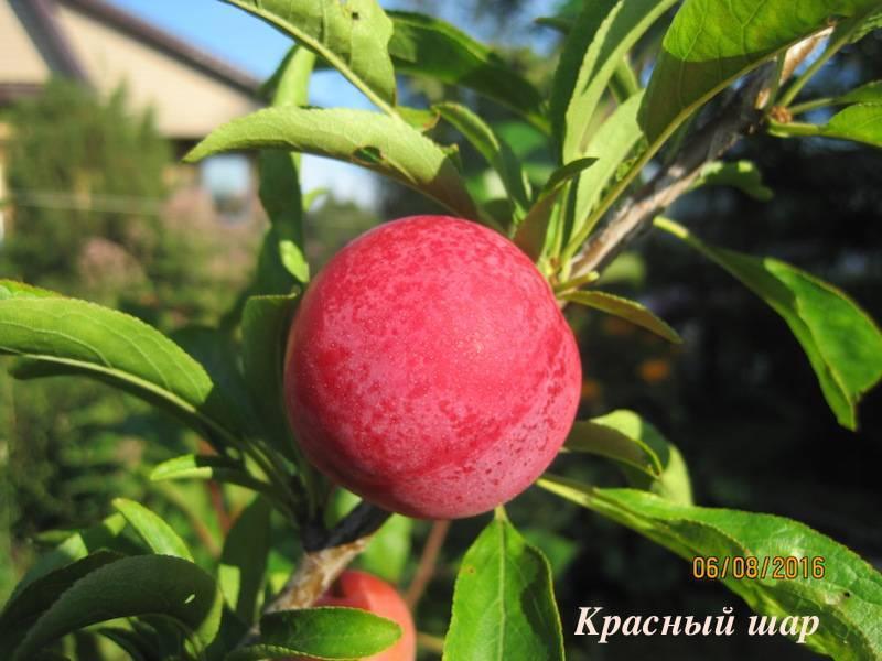 Красный шар — популярный сорт китайской сливы для подмосковья