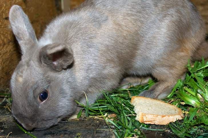 Можно ли давать кроликам пшеницу: польза и вред, правила кормления