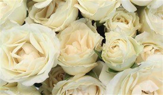 Парковая роза ваниль фрайз уход