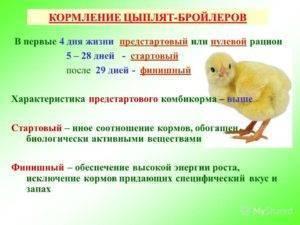 Чем кормить цыплят - рацион, суточных, недельных, месячных цыплят