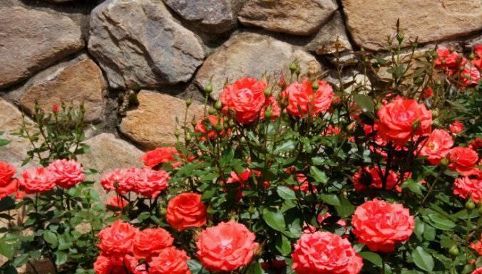 Болезни и вредители роз: фото, описание и лечение