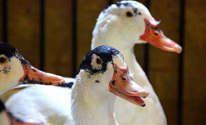 Мускусная утка: описание породы и особенности её содержания