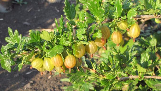 Крыжовник янтарный описание сорта — ягоды грибы