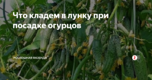 Что класть в лунку при посадке помидор и огурцов