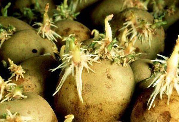 Посадка картофеля по методу галины кизимы