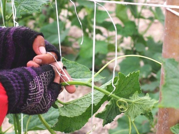 Как подвязать огурцы в открытом грунте - способы и приспособления