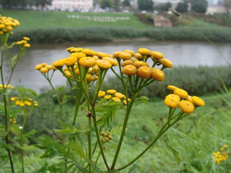 Трава пижма: полезные, лечебные свойства и противопоказания