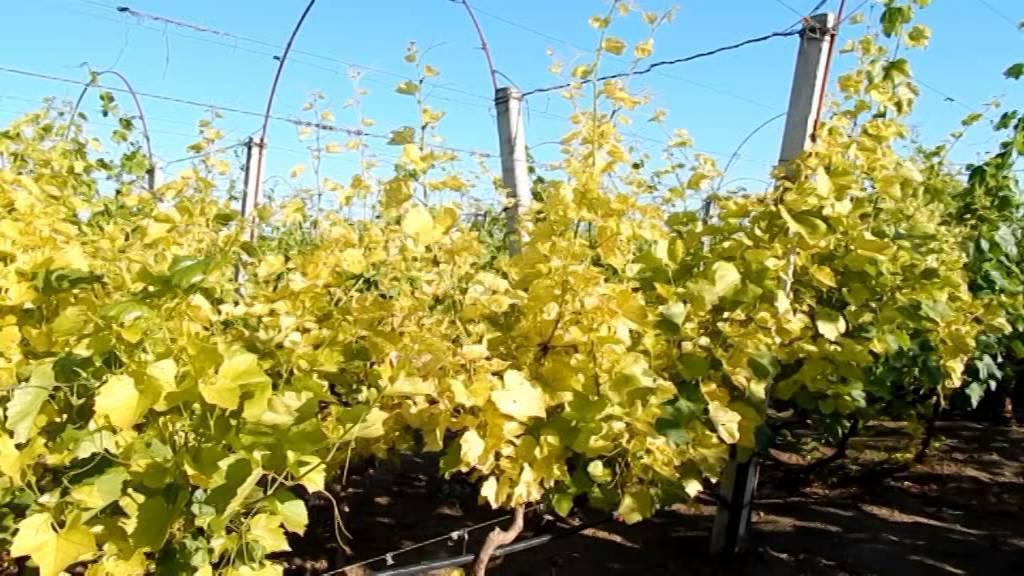 Как бороться с хлорозом на винограде: что делать, лечение железным купоросом
