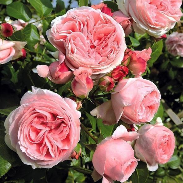 Чайная роза, лекарственные свойства, рецепты
