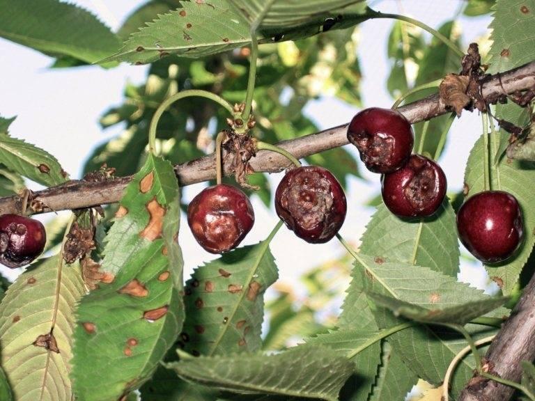 Коккомикоз вишни – основные симптомы, лечение, меры борьбы