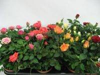Роза кордана микс: как ухаживать после покупки, особенности полива, фото