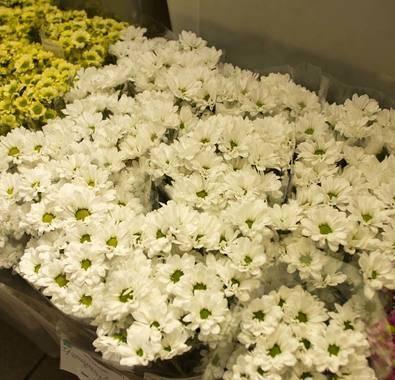 Особенности зимостойких хризантем