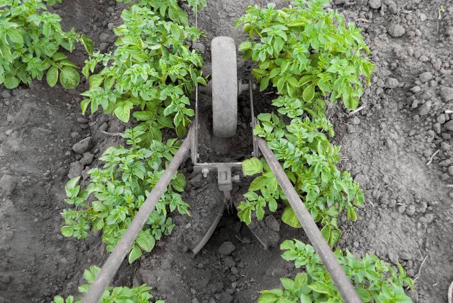 Для чего и как окучивать картофель
