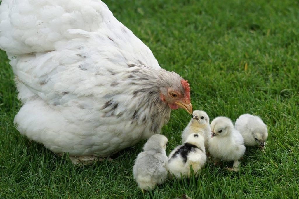 Почему куры клюют кур: причины и что делать. правила содержания кур
