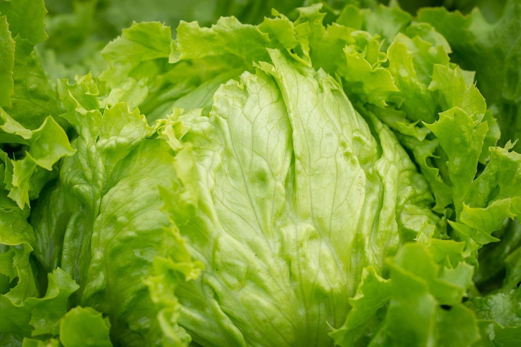 Как вырастить салат айсберг в теплице, на грядке и подоконнике