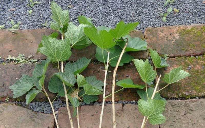 Как посадить черенки черной смородины правильно?