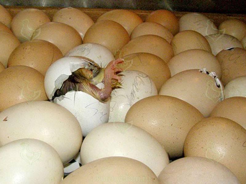 Процесс вылупления цыплят