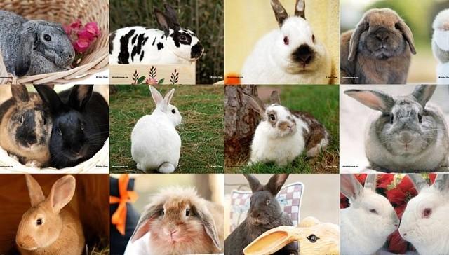 Телосложение кролика: конституция и экстерьер