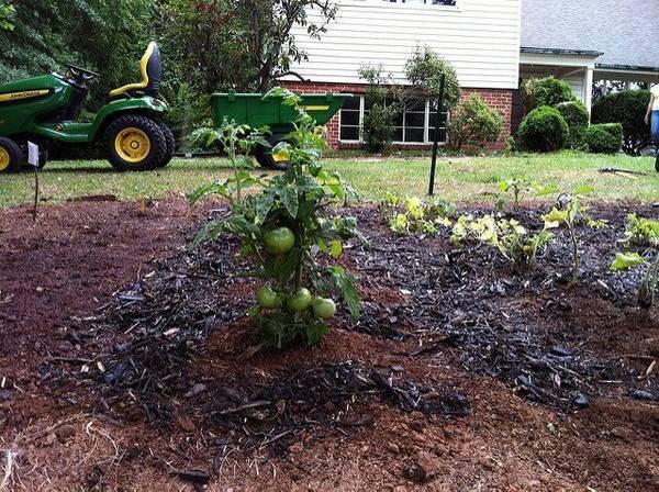 После чего сажать помидоры на следующий год. что сажать после помидоров