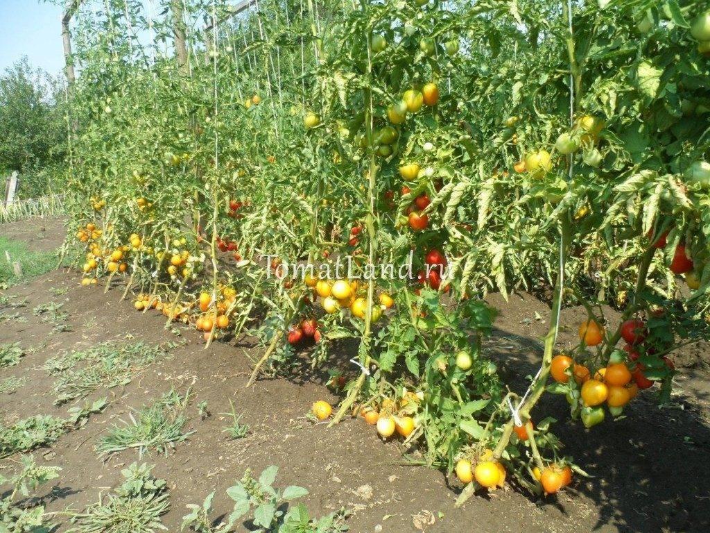 были томат чудо земли описание сорта фото отзывы вблизи даже