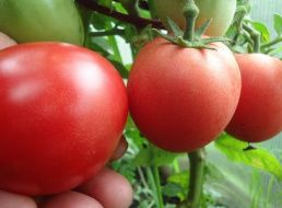 Томат северный румянец: отзывы, фото, урожайность, описание и характеристика | tomatland.ru