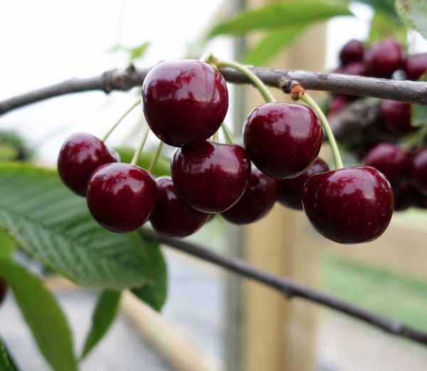 Поздние сорта черешни – 7 самых урожайных и крупноплодных сортов