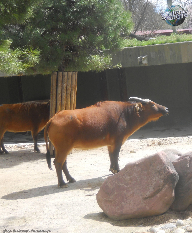 Малюсенький буйвол 4 буквы. самые маленькие карликовые буйволы