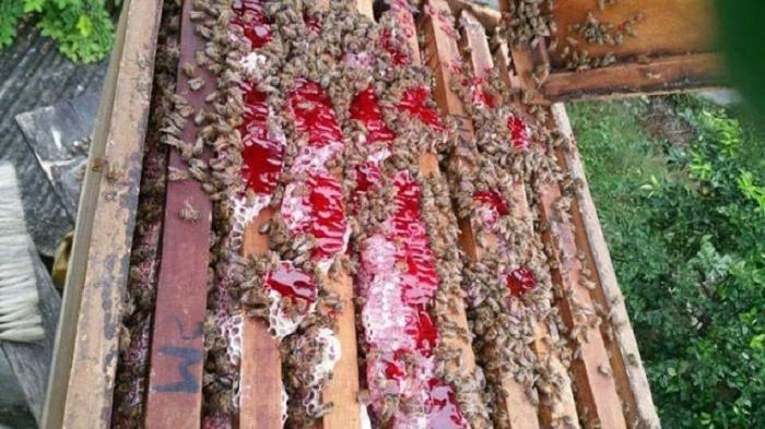 Гималайские пчелы: галлюциногенный мед и его добыча