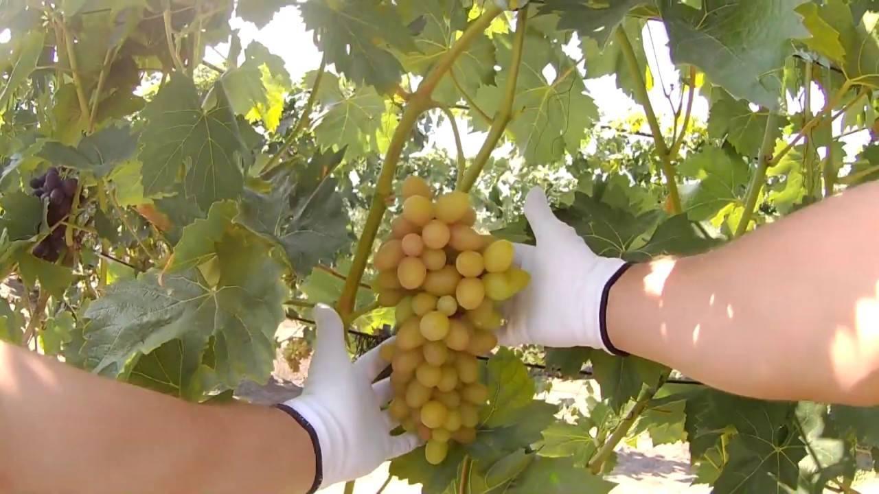 Виноградный сорт софия - общая информация - 2020