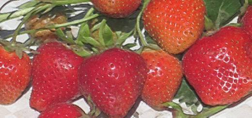 Клубника «альбион»: особенности сорта, выращивание в теплице, подготовка почвы, рассады, схема посадки, правила ухода, отзывы и советы