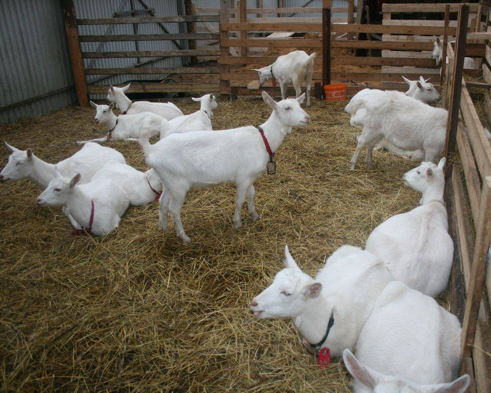 Зааненские козы – описание молочной породы