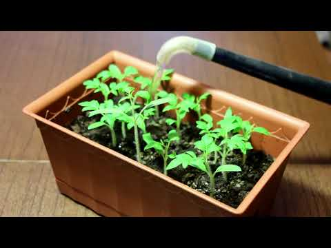 Почему и что делать, если рассада капусты плохо приживается, растет медленно