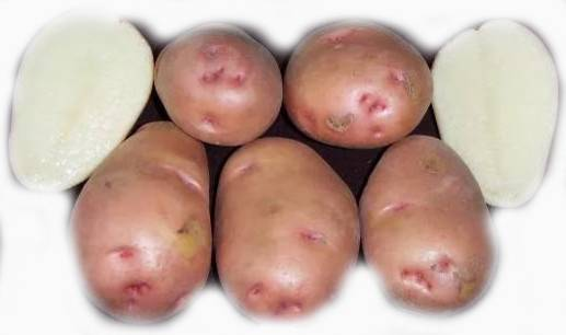 Картофель сорта нандина