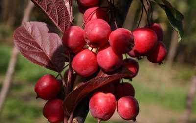 Райские яблочки фрукт. райские яблони: популярные сорта и характеристика плодов