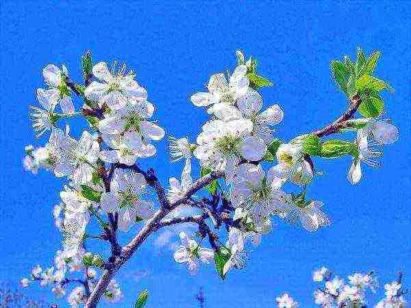 Слива медовая белая — медовая сладость на ветках